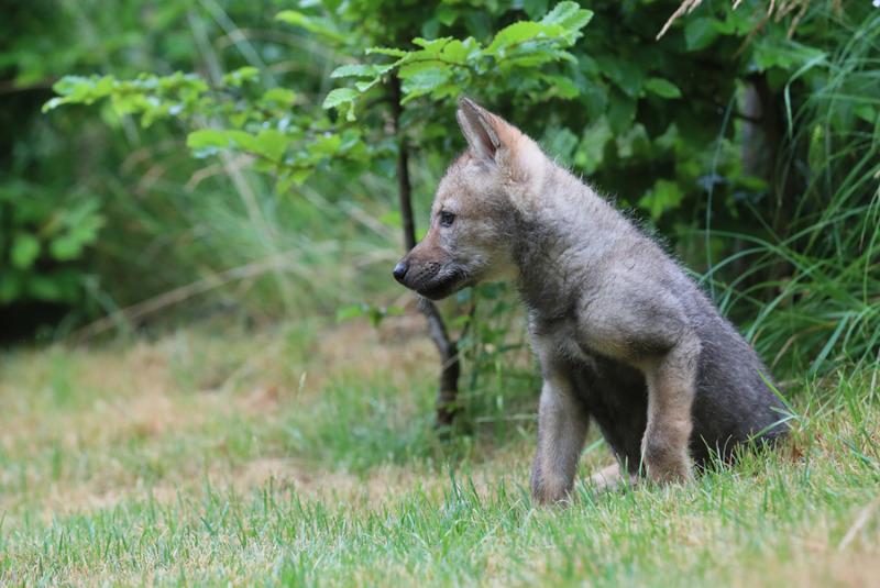 Dauerhafte Bleibe Für Wolfsbaby Alles Lausitzde