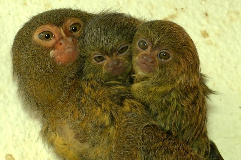 XXS-Affennachwuchs zeigt sich in Kürze