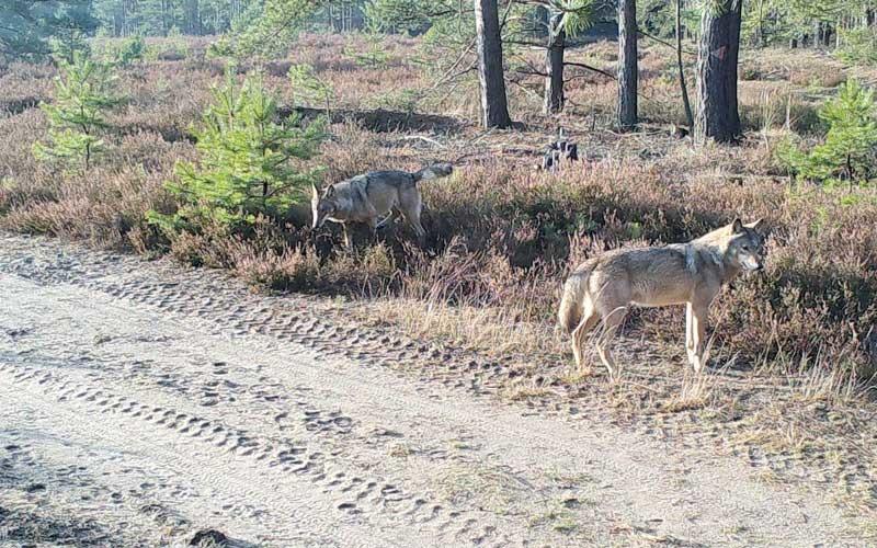Neue Wolfsfamilie am Truppenübungsplatz