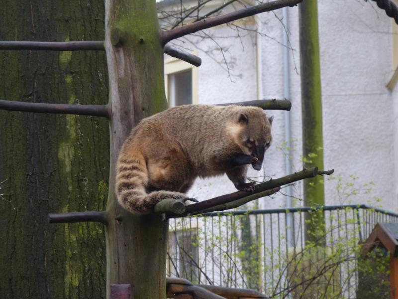 Keine Angst um die Nasenbären