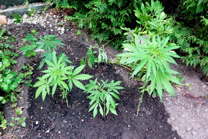 27 Cannabispflanzen sichergestellt