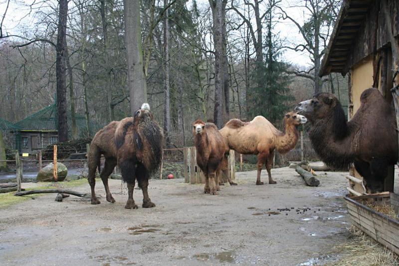 Bei Kamelen spielen die Hormone verrückt
