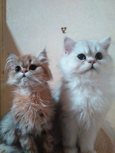 Der Katzen-Adel trifft  sich in der Zittauer Aula