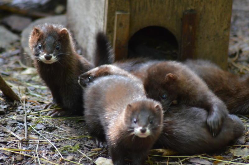Nerzgehege im Tierpark geöffnet