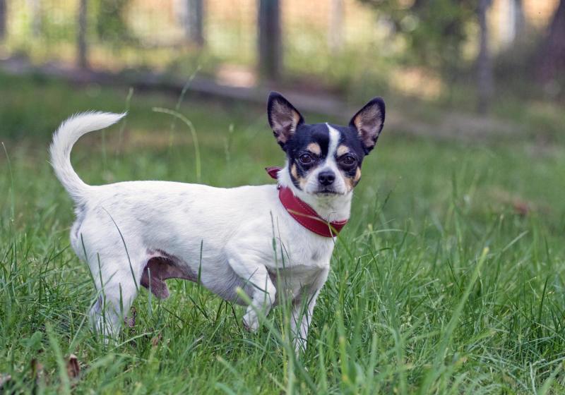 Männlich, fit und lebenslustig: Chihuahua sucht Frauchen