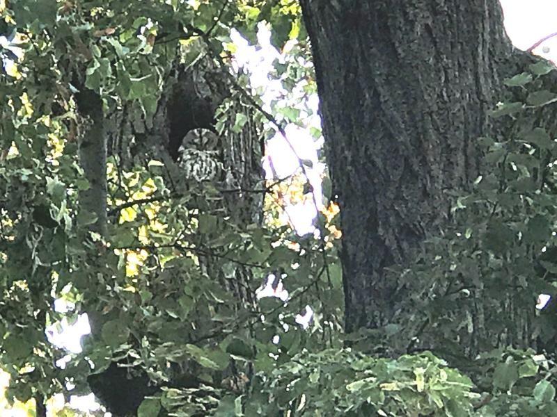 Geplante Werkszufahrt: Waldkäuzen droht der Rauswurf aus ihrem Horst