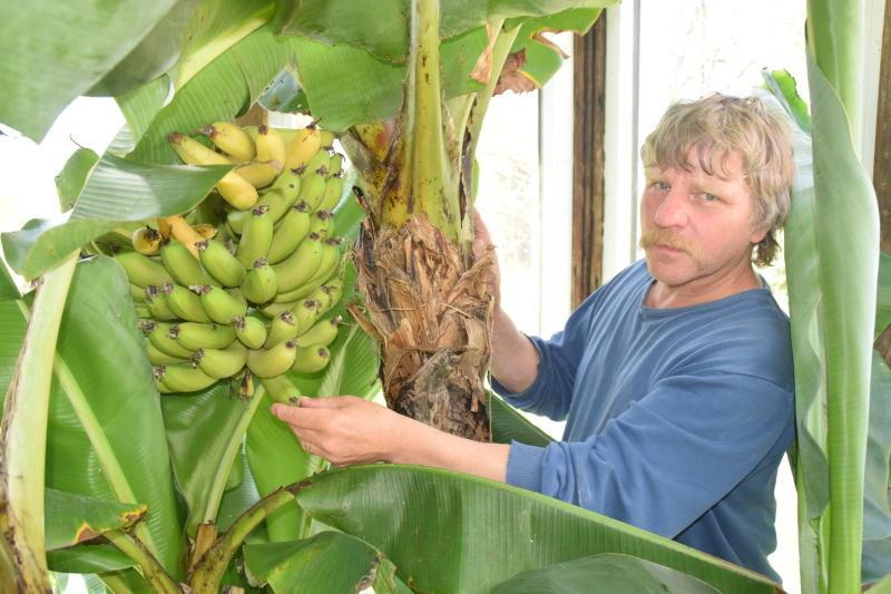 Ullersdorf meldet eine gute Bananenernte