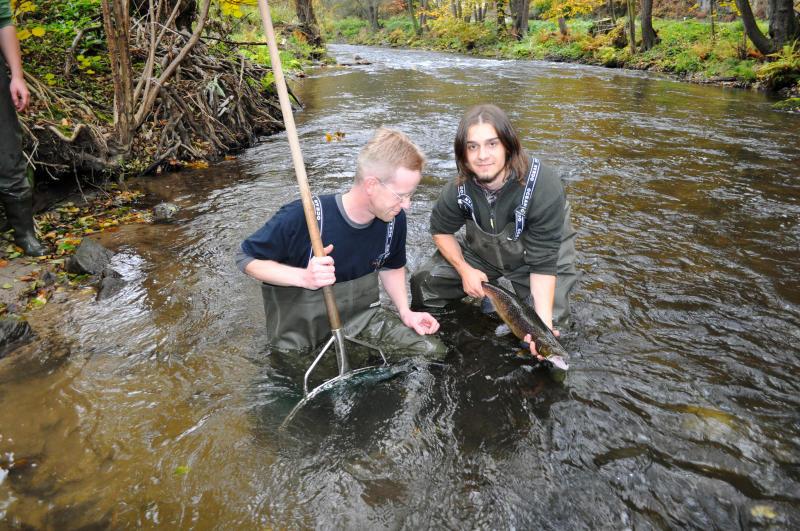 Erste Erfolge: Lachse überleben in der Pulsnitz