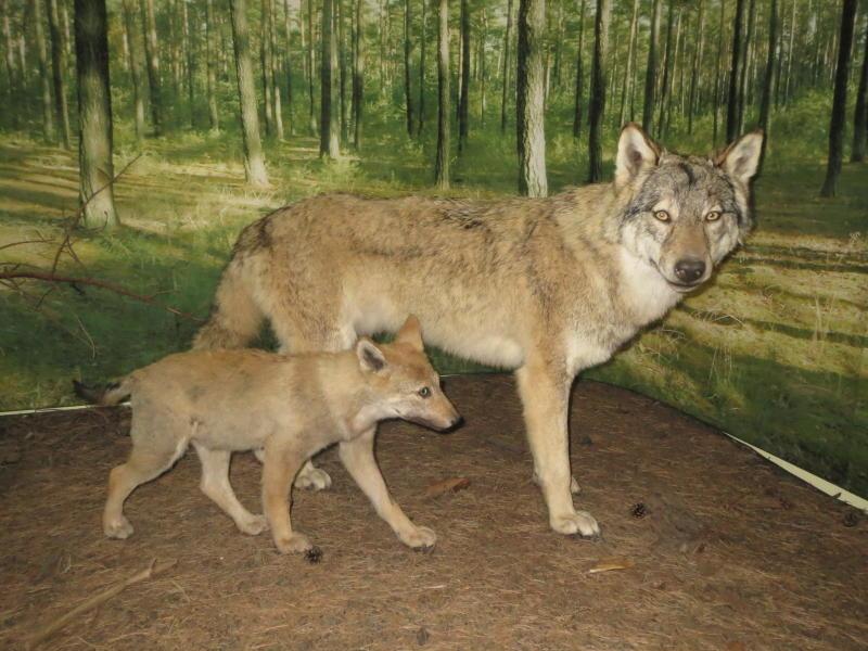 Wenn Wolf zugebissen hat