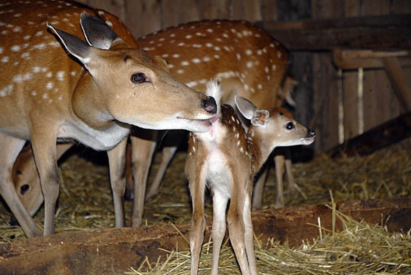 Auf Tuchfühlung mit den Sika-Hirschen