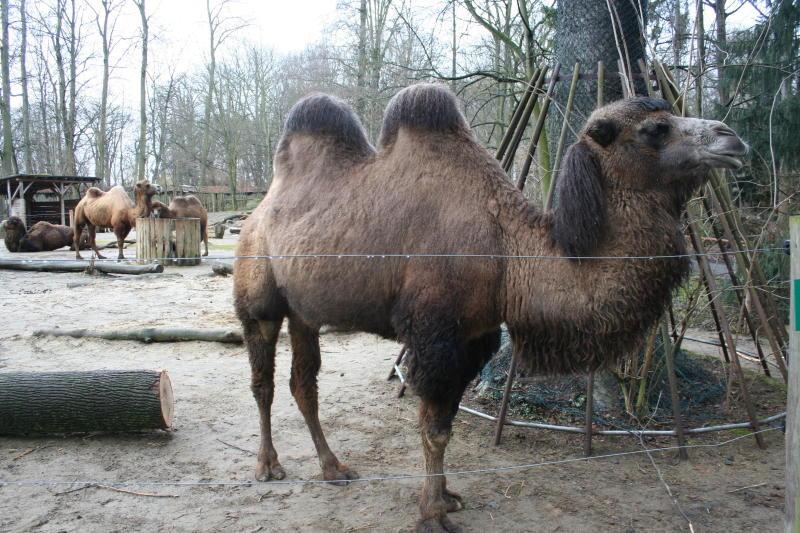 Bei Kamelen spielen Hormone verrückt