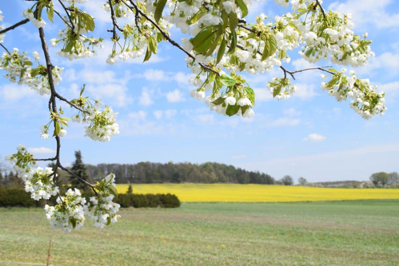 Groß Radisch erlebte Blüte weitgehend ohne Publikum