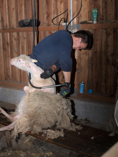 Die Schafschur ist eine schwere körperliche Arbeit