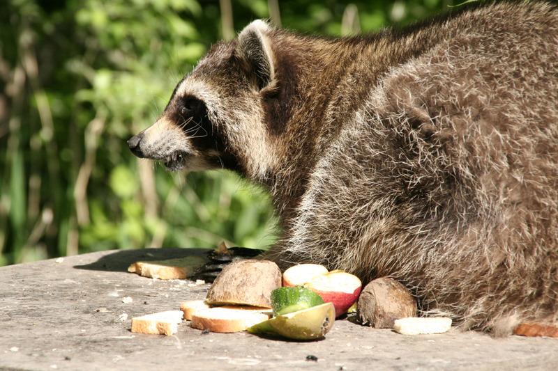 Die Waschbärenfamilie wegjagen oder töten
