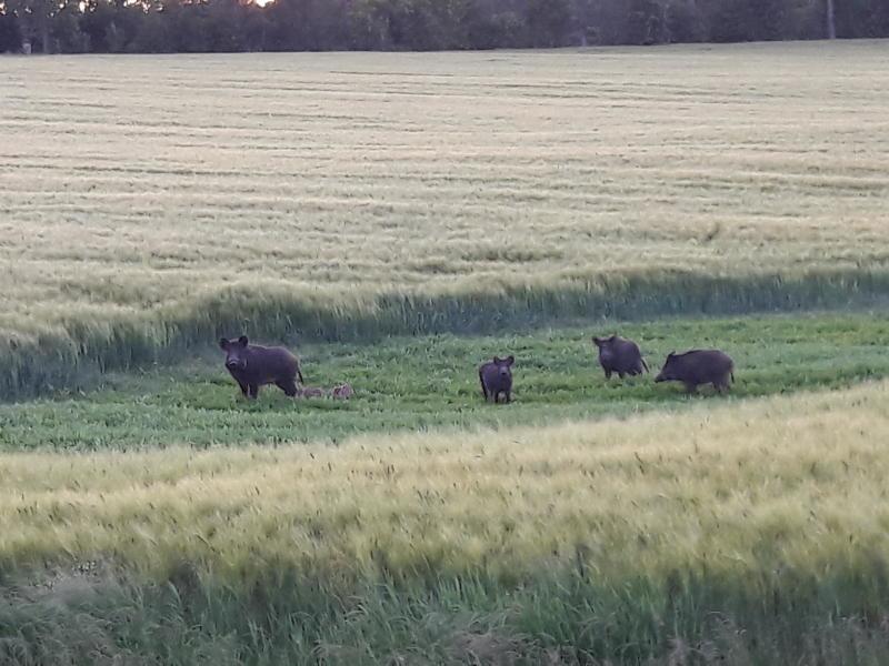 Landkreis gewährt Prämie für den Wildschweinabschuss