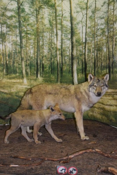 Nur noch zwei Wölfe senden
