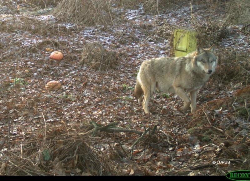 Wolfsstreuner kommt aus Polen