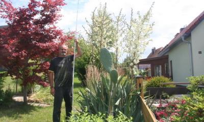 Palmlilie ist das  Prunkstück im Garten