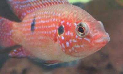 Exotische Fische in heimischen Gewässern
