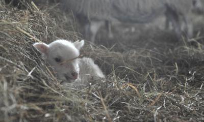 Lämmer gucken im Schafstall