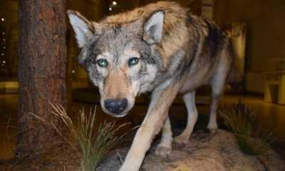 Die Ausbreitung des Wolfs im Freistaat hält an