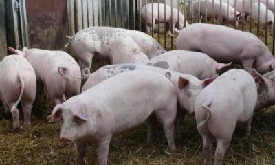Schweinemastanlage Ralbitz: Baubeginn ist noch 2018