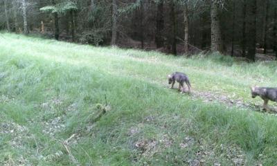 Massenei ist Wolfsterritorium