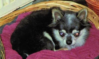 "Wer weiß was über Mini-Chihuahua ""Opi""?"