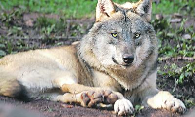 Toter Wolf im Stall von Jerchwitz
